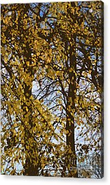 Golden Tree 2 Acrylic Print by Carol Lynch