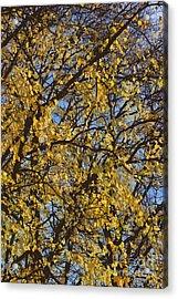 Golden Tree 3 Acrylic Print by Carol Lynch