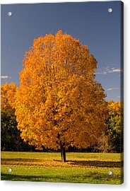 Golden Tree Of Autumn Acrylic Print