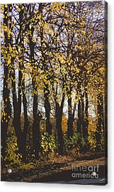 Golden Trees 1 Acrylic Print by Carol Lynch