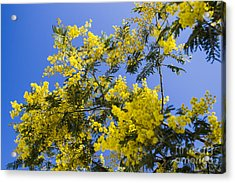 Acrylic Print featuring the photograph Golden Wattle by Angela DeFrias