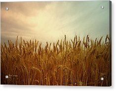 Golden Wheat Acrylic Print