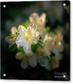 Golden White Azaleas Acrylic Print