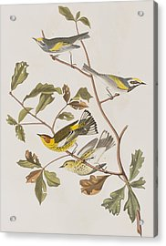 Golden Winged Warbler Or Cape May Warbler Acrylic Print by John James Audubon