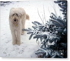 Goldendoodle Acrylic Print by Andrea Kollo