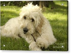 Goldendoodle Puppy And Stick Acrylic Print by Anna Lisa Yoder