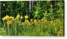 Acrylic Print featuring the photograph Goldenrod In The Adirondacks by David Patterson
