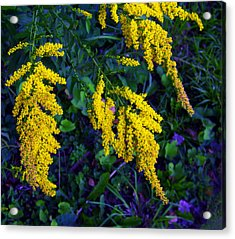 Acrylic Print featuring the photograph Goldenrod by Shawna Rowe