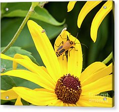 Acrylic Print featuring the photograph Goldenrod Soldier Beetle by Ricky L Jones
