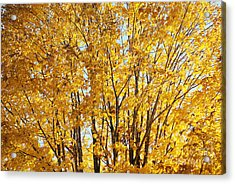 Acrylic Print featuring the photograph Goldenyellows by Aimelle