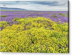 Acrylic Print featuring the photograph Goldfield And Phacelia by Marc Crumpler