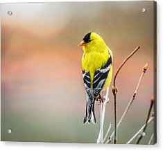 Goldfinch At Sunrise Acrylic Print by Susan Capuano
