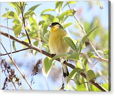 Goldfinch In Spring Tree Acrylic Print by Carol Groenen