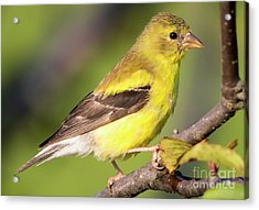 Acrylic Print featuring the photograph Goldfinch In The Early Morning  by Ricky L Jones