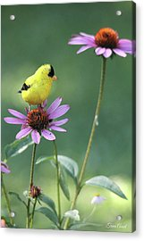 Goldfinch On A Coneflower Acrylic Print