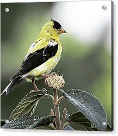 Goldfinch Overlooking His Territory Acrylic Print