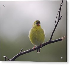 Acrylic Print featuring the photograph Goldfinch Puffball by Susan Capuano