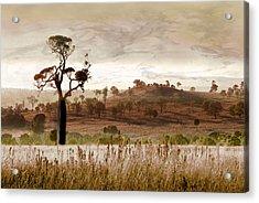 Gondwana Boab Acrylic Print by Holly Kempe