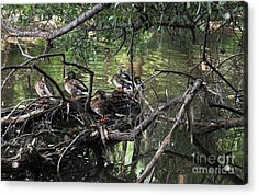 Gone Duck Hunting Acrylic Print by Natalie Ortiz