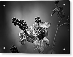 Gone To Seed Blackberry Lily Acrylic Print by Teresa Mucha
