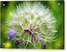 Gone To Seed Acrylic Print by Marty Koch