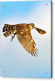Acrylic Print featuring the photograph Good Hawk Hunting by William Jobes