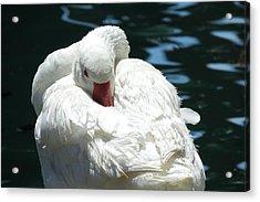 Goose Feather Siesta Acrylic Print