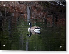 Acrylic Print featuring the photograph Goose On A Pond by Jeff Severson