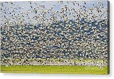 Goose Storm Acrylic Print