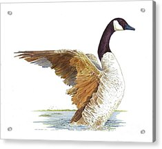 Goose Taking Flight Acrylic Print