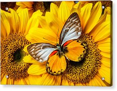 Gorgeous Butterfly On Sunflowers Acrylic Print