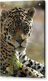 Gorgeous Jaguar Acrylic Print by Sabrina L Ryan