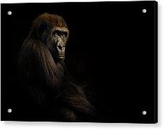 Gorilla Acrylic Print by Animus Photography