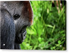 Gorilla Portrait Acrylic Print by Dan Pearce