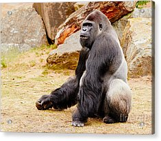 Gorilla Sitting Upright Acrylic Print