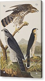 Goshawk And Stanley Hawk Acrylic Print by John James Audubon