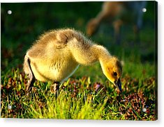 Gosling In Spring Acrylic Print by Paul Ge