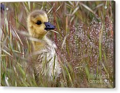 Gosling In The Meadow Acrylic Print