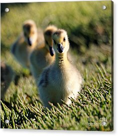 Gosling March Acrylic Print