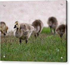 Gosling With Fleas Acrylic Print