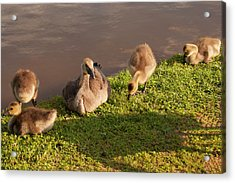 Acrylic Print featuring the photograph Goslings Basking In The Sunset by Chris Flees