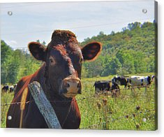 Got Milk Herd Acrylic Print by JAMART Photography