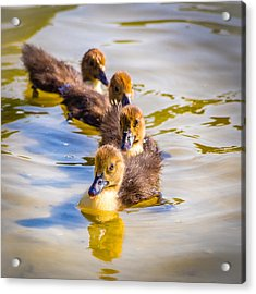 Got My Ducks In A Row Acrylic Print