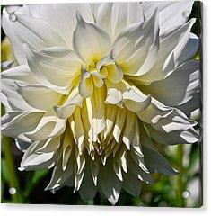 Graceful Dahlia  Acrylic Print