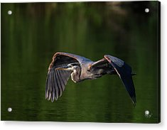 Acrylic Print featuring the photograph Graceful Flight by Everet Regal