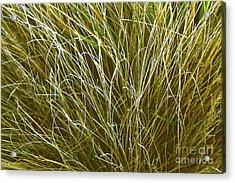 Graceful Grasses Acrylic Print