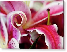 Graceful Lily Series 25 Acrylic Print by Olga Smith