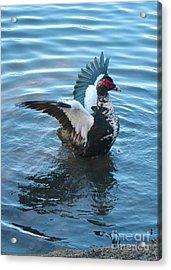 Graceful Muscovy Duck Acrylic Print by Carol Groenen