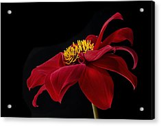 Graceful Red Acrylic Print