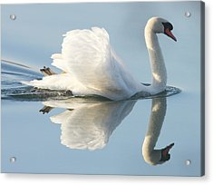 Graceful Swan Acrylic Print by Andrew Steele